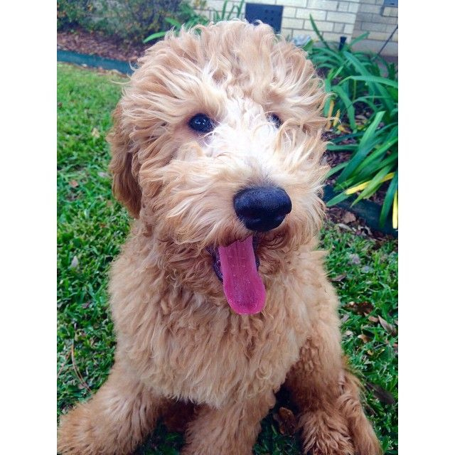 Happy Puppy Goldendoodle Golden Retriever And Poodle Cross