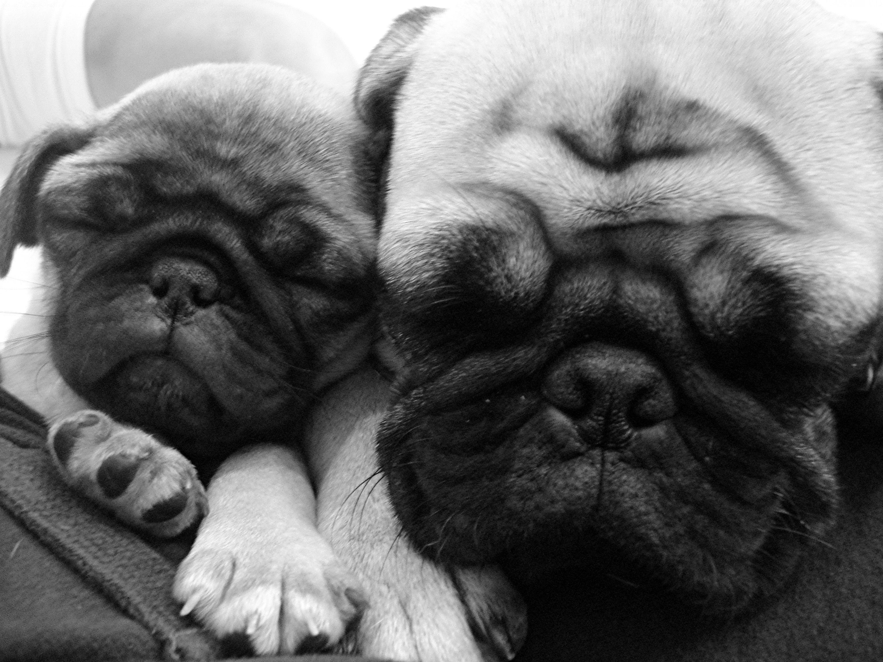 Puggies Baby Pugs Pugs Pug Puppies