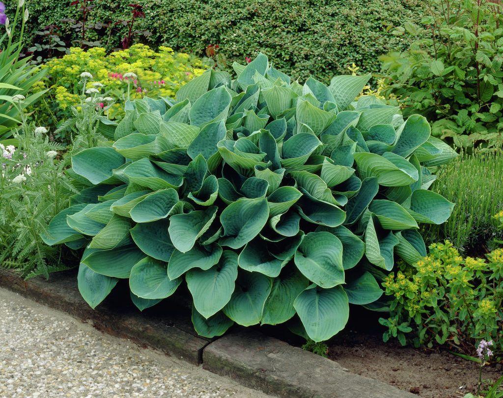 Hosta Sieboldiana Elegans Blue Giant Plantain Lily