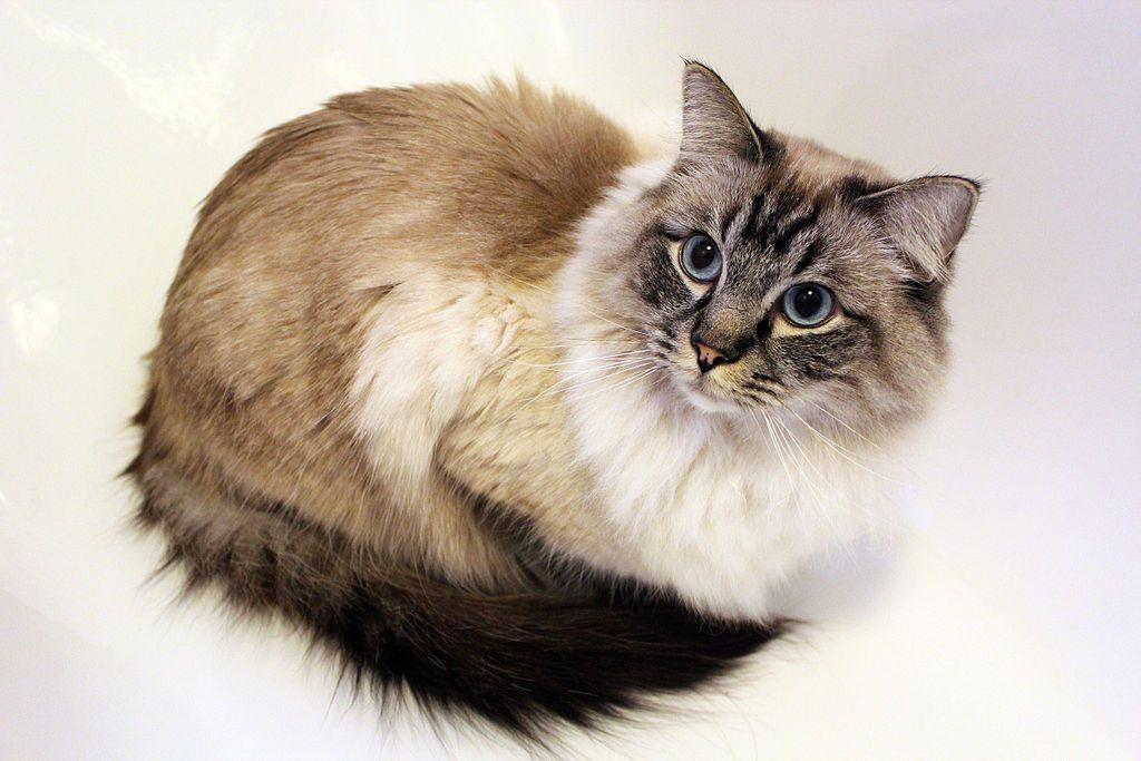 Tabby Cat Cat Breeds Tabby Cat Ragdoll Cat Breed