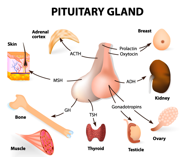pituitary tumors | american brain tumor association | science, Human Body