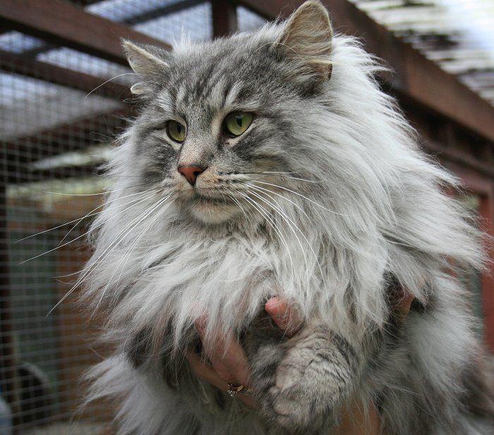 Norwegian Forrest Cat To Sale