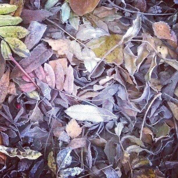 Yöpakkasen jälkeen. Frosty leaves after night frosts. #huurre#sininenhetki#struktuuri#luonto#frostyleaves#nightfrosts#structure #nature#momentsofmylife