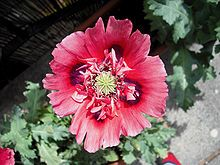 Papaver somniferum papaver somniferum the opium poppy2 is the papaver somniferum the opium is the species of plant from which opium and poppy seeds are derived order ranunculales family papaveraceae genus papaver mightylinksfo