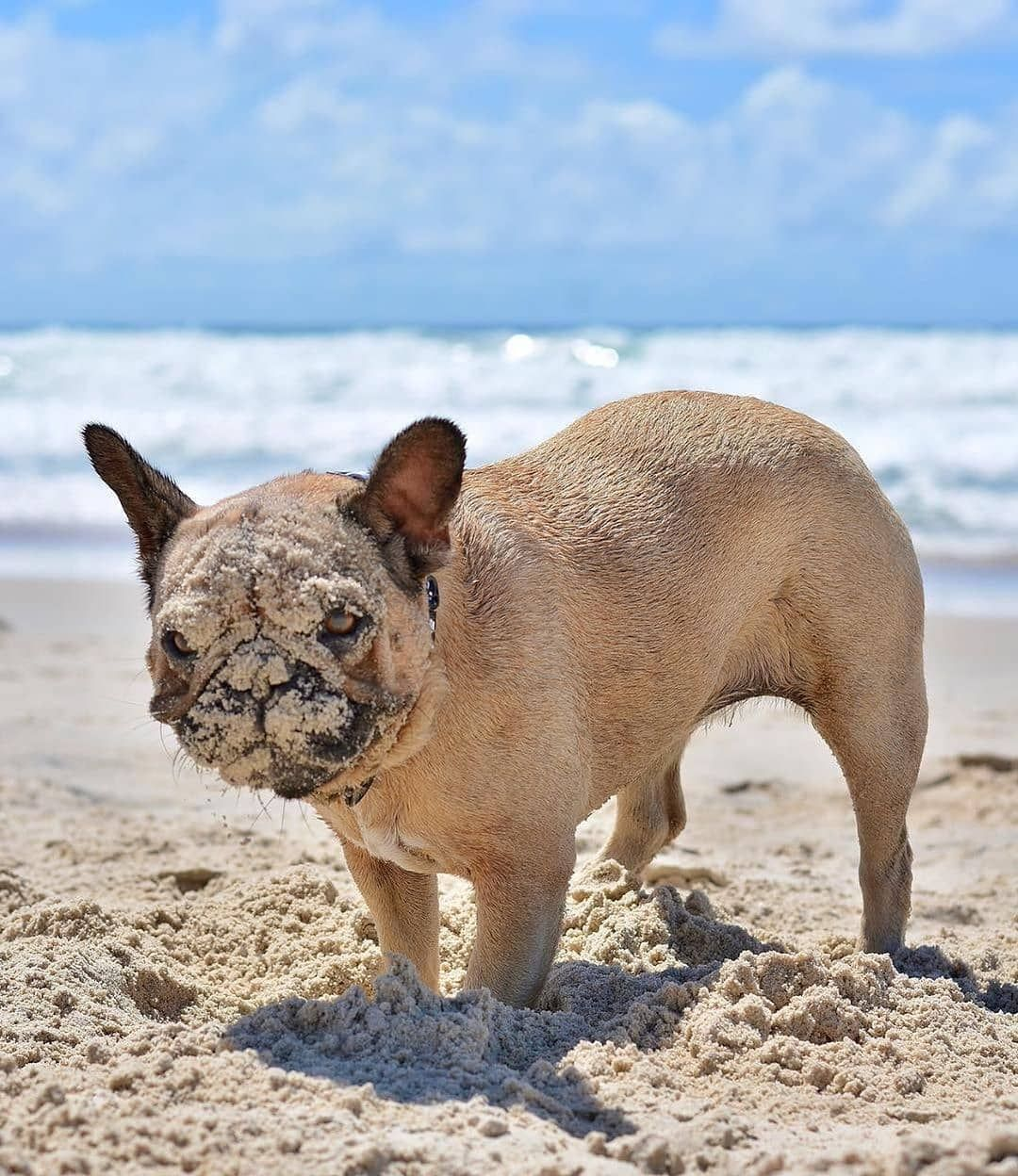 Funny Frenchies On Instagram What Do I Have Something On My Face Cr Polly Pops The Frenchie Bulldog French Bulldog English Bulldog Puppies
