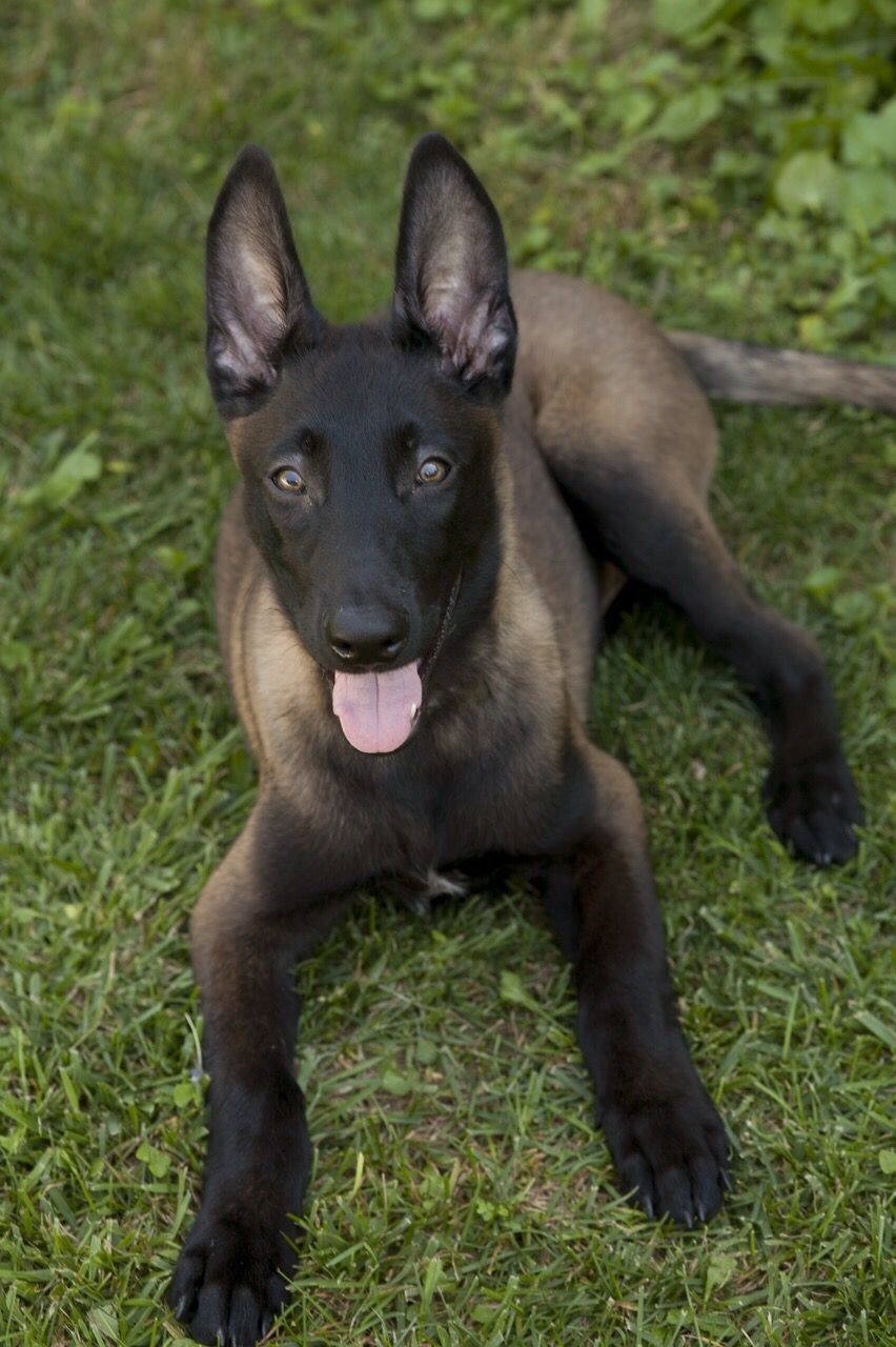 Belgian Malinois, apparently the gene that causes the
