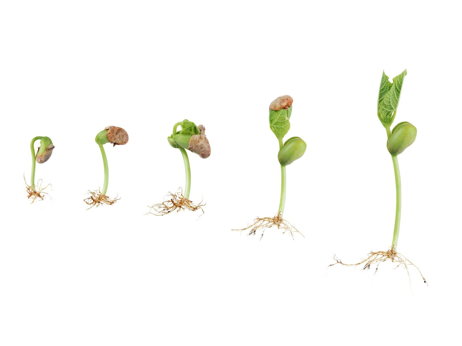 Draw A Radish Google Search Seed Art Pinterest Hydroponics Sprouting Diagram Germination Images Might