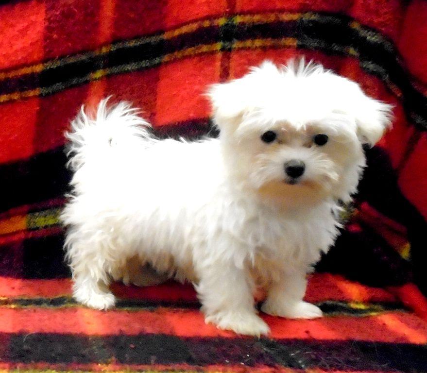 Just Pups New Jersey Happy Healthy Maltese Malti Poo Malti Shu Puppies For Sale Maltipoo Puppies For Sale Puppies