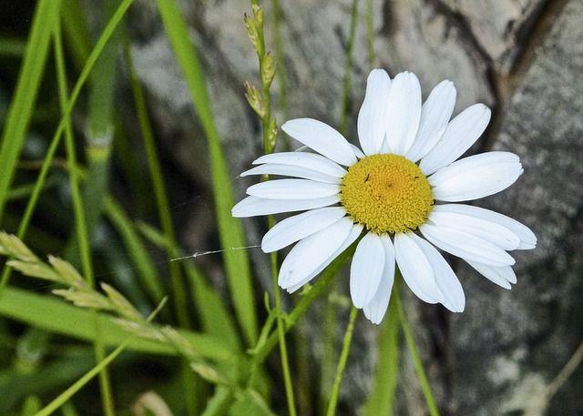 Image Gratuite Sur Pixabay Marguerite Fleur Bloom Flore