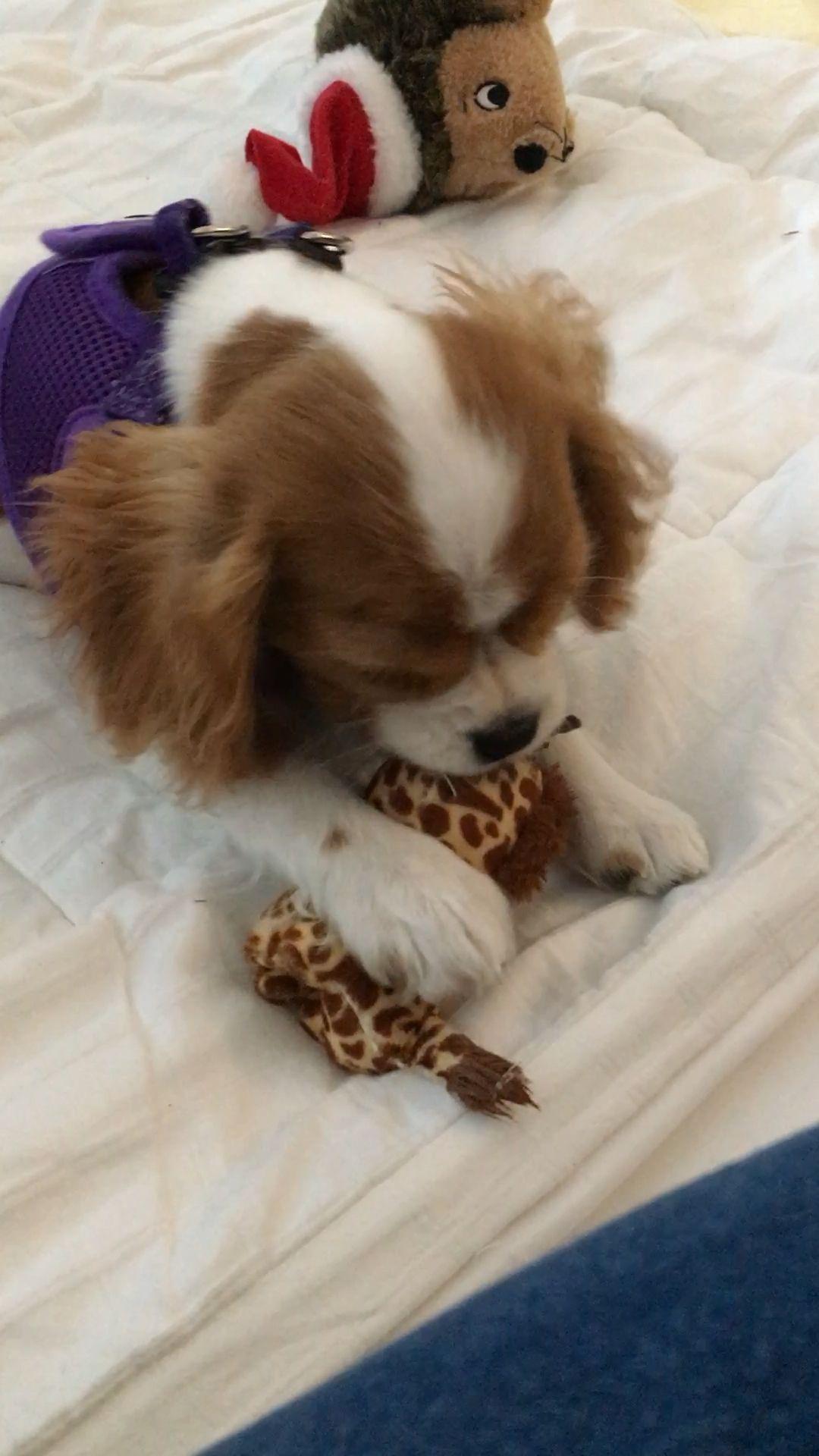 Gorgeous Cavalier King Charles Spaniel Mix Beagle In 2020 King Charles Dog Cavalier King Charles Dog King Charles Cavalier Spaniel Puppy