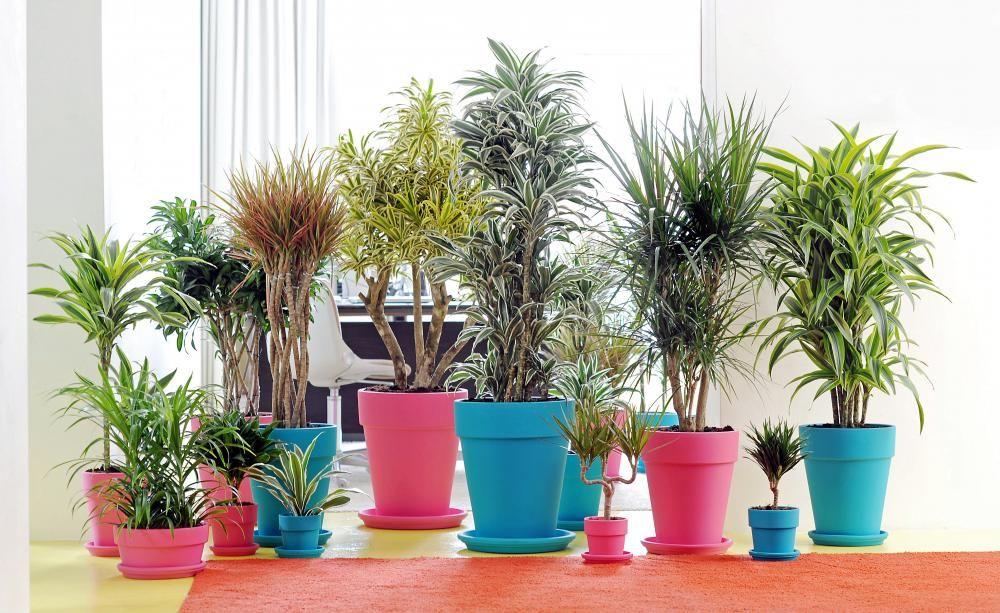 Drachenbaum: Pflege Und Vermehrung | Drinnen Pflegetipps Hangende Zimmerpflanzen Raume Einfach Begrunen