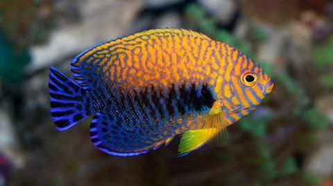 Saltwater Fish For Sale Buy Saltwater Fish Online Saltwater Fish Tanks Saltwater Fish For Sale Fish