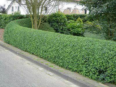 Resultado de imagen para arbustos para cercos jardin cercos jard n delantero y arbustos - Cierres de jardin ...