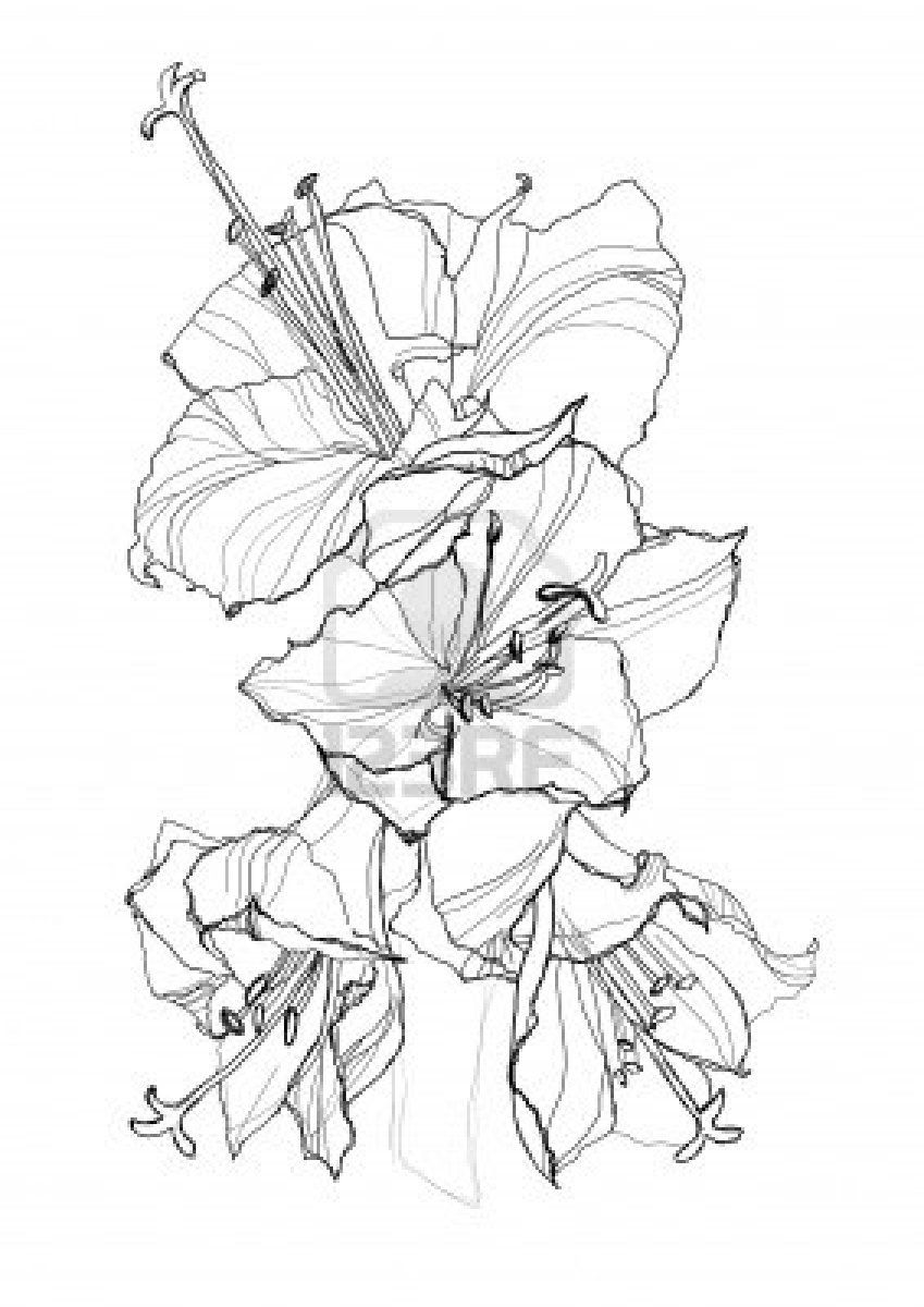 Hibiscus Flower Pencil Drawing On White Background Design