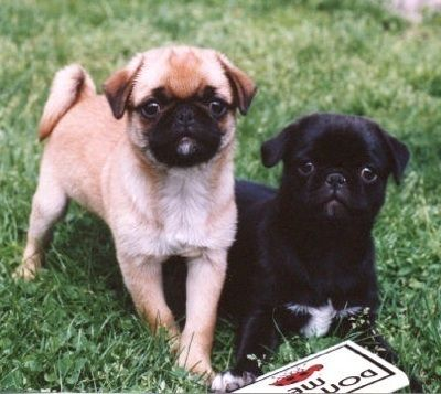 Japug Puppies Dogs Pugs