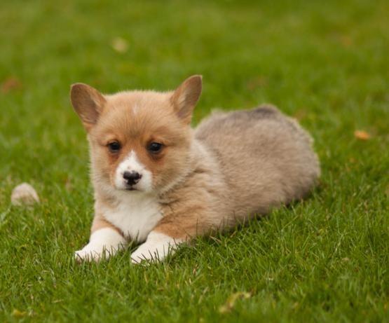 Tracey Welsh Corgi Pembroke Puppy For Sale In Middleburg Pa Lancaster Puppies Corgi Corgi Pembroke Puppies