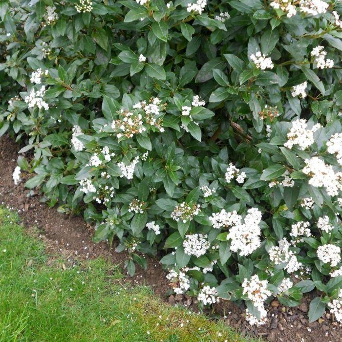 heckenpflanzen blüten schönes exterieur Interessantes Grün - heckenpflanzen