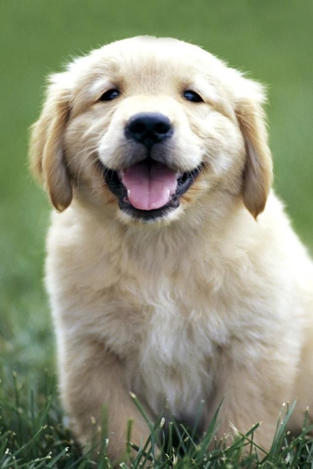 Pin By Chris Shaffer On Just Golden Retriever Puppy Golden