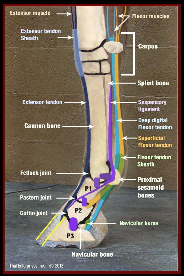 Lower Front Limb Side View no 2 | Equine studies | Pinterest | Horse ...