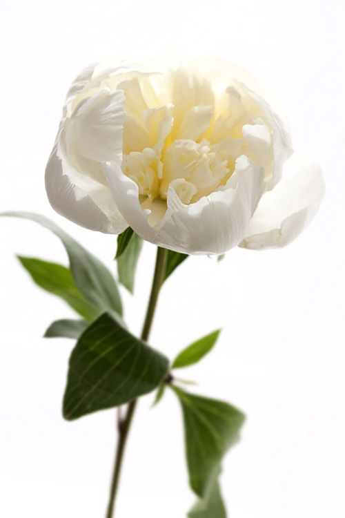 Project wedding flowers blossomy pinterest peony white project wedding flowers mightylinksfo