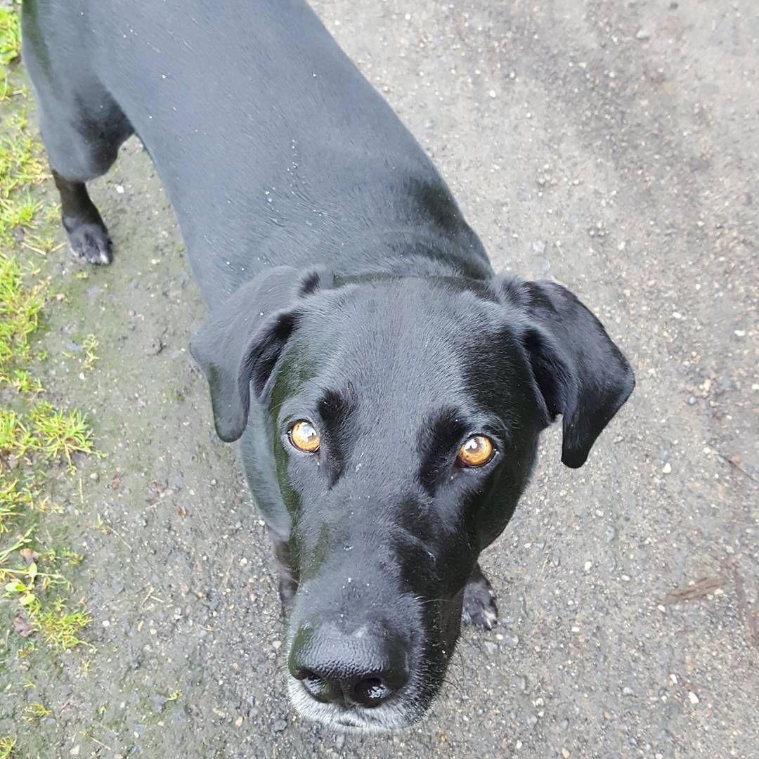 Grusse Von Der Morgenrunde X1f436 X1f43e Donnerstag Morgenrunde Lieblingshund Johnny Park Schwarz Black Dog Hund Mischlings Labrador Dogs Animals