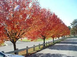 Cleveland Select Pear Tree Fall Home Pear Trees Bradford Pear