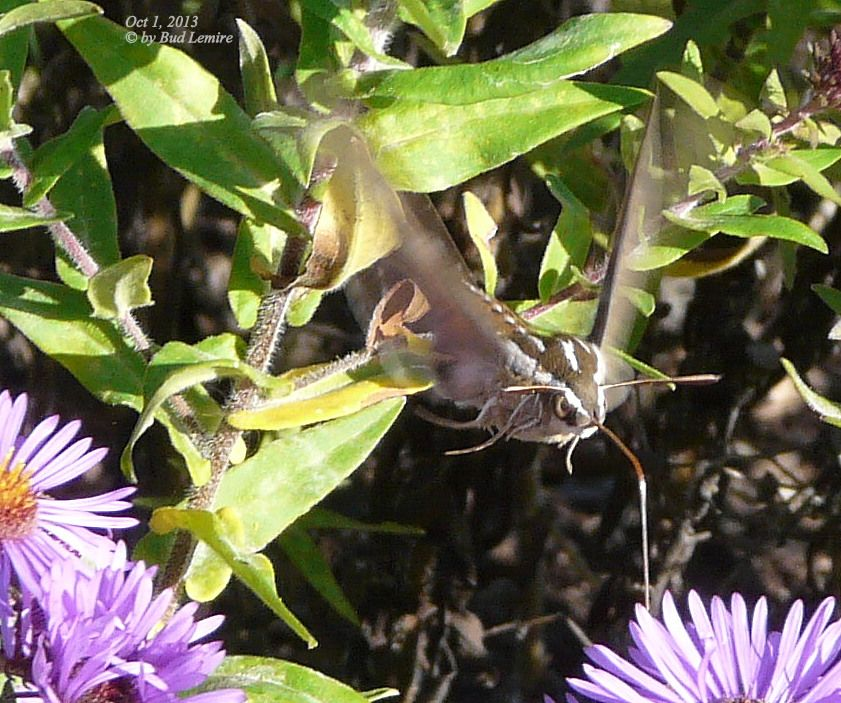 The Hummingbird Moth