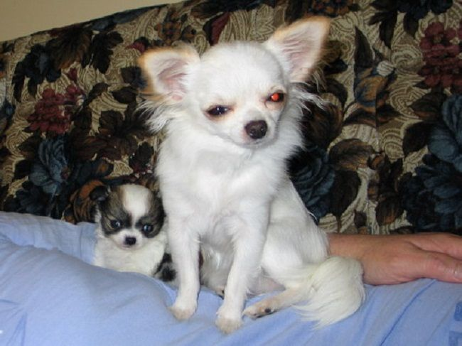 Long Haired White Chihuahua Puppies For Sale Zoe Fans Blog