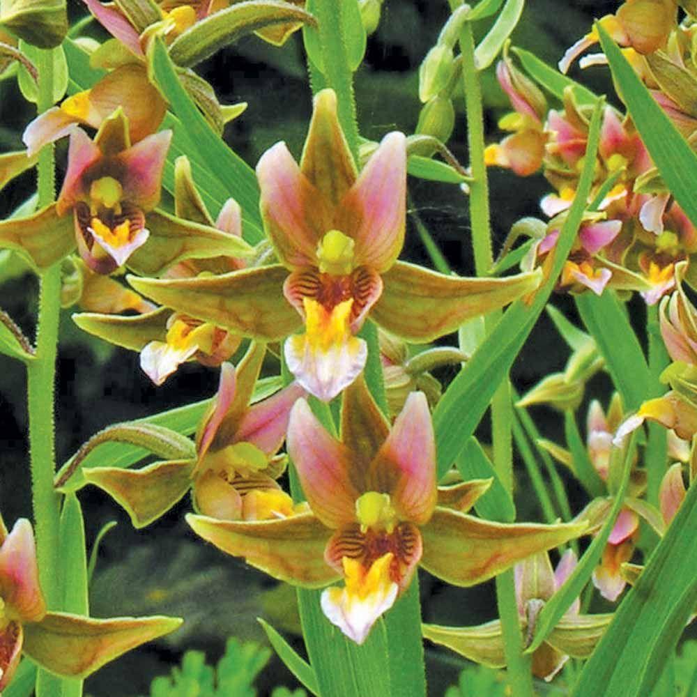 Rainbow orchid exotic plants van meuwen dappled shade shade