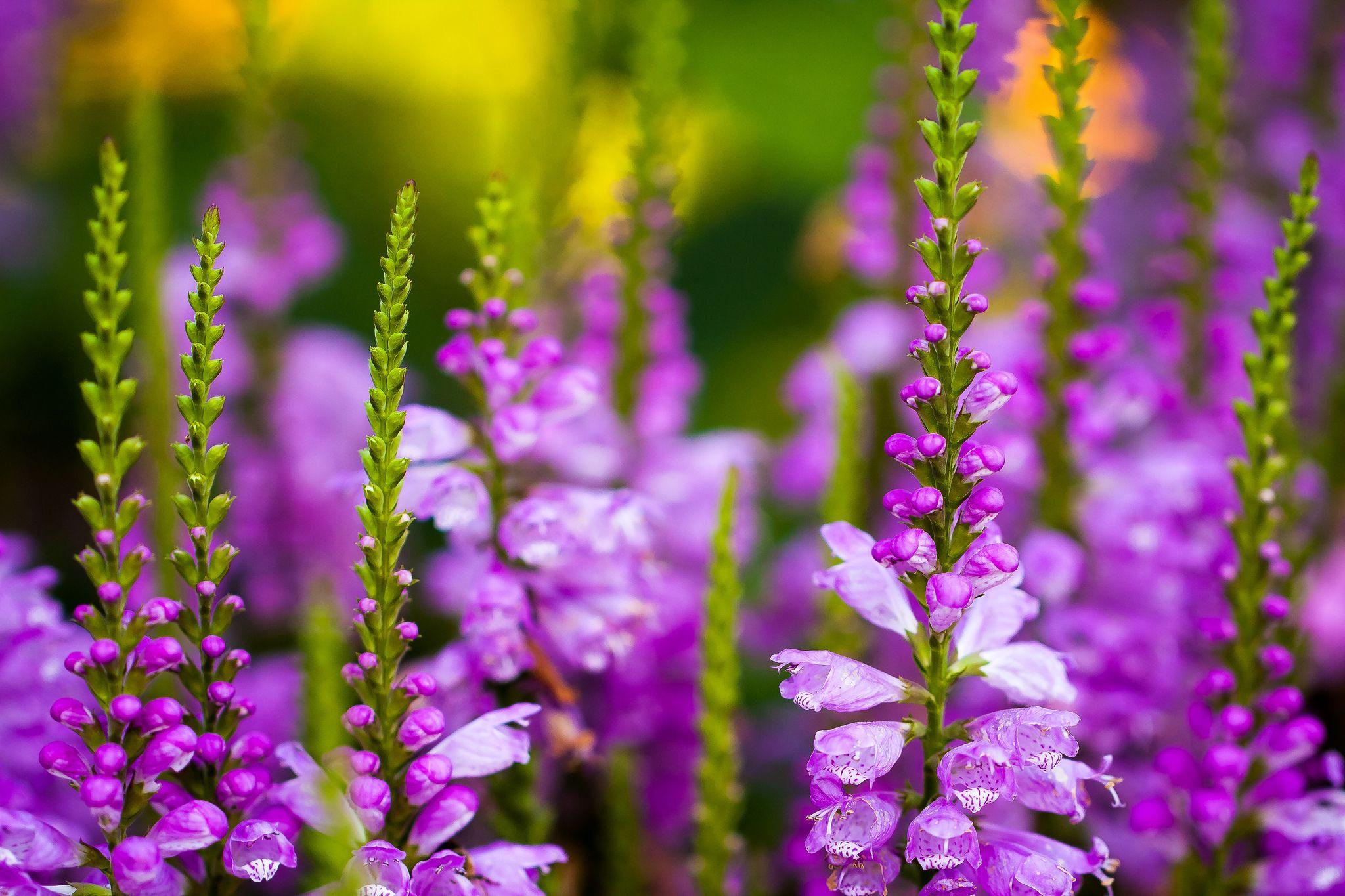https://flic.kr/p/dRKYdm   Purple larkspur   Taken at Chicago Botanic Garden
