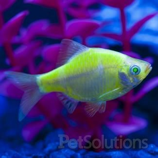 Glofish Electric Green Barb Glofish Fish Pet Pet Care