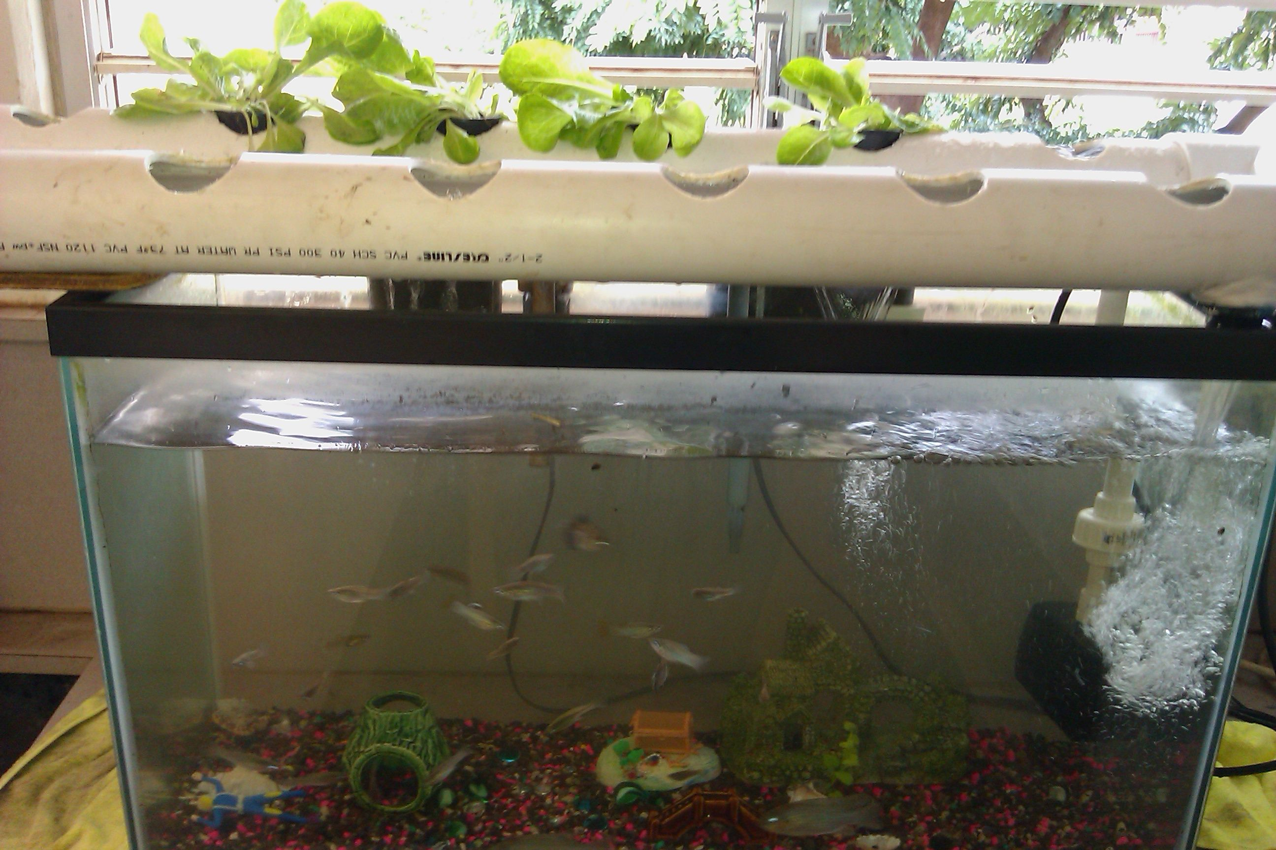 Desktop aquaponics aquarium setup stem intercommunity for Fish for aquaponics