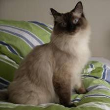A ragdoll cat - apparently the ideal cat for an apartment with children.