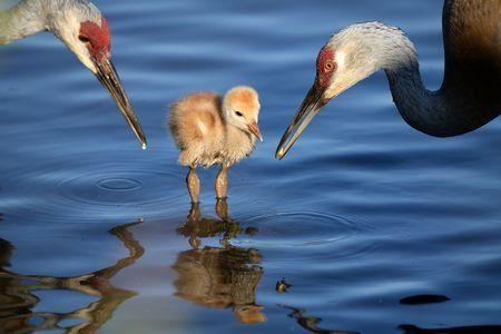 Sandhill Crane National Geographic >> Sandhill Crane For The Birds Birds Animals National Geographic