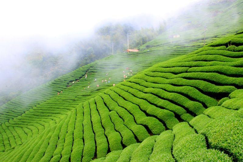 Pin By Ides Tea On Taiwan Tea In 2019 Oolong Tea Tea