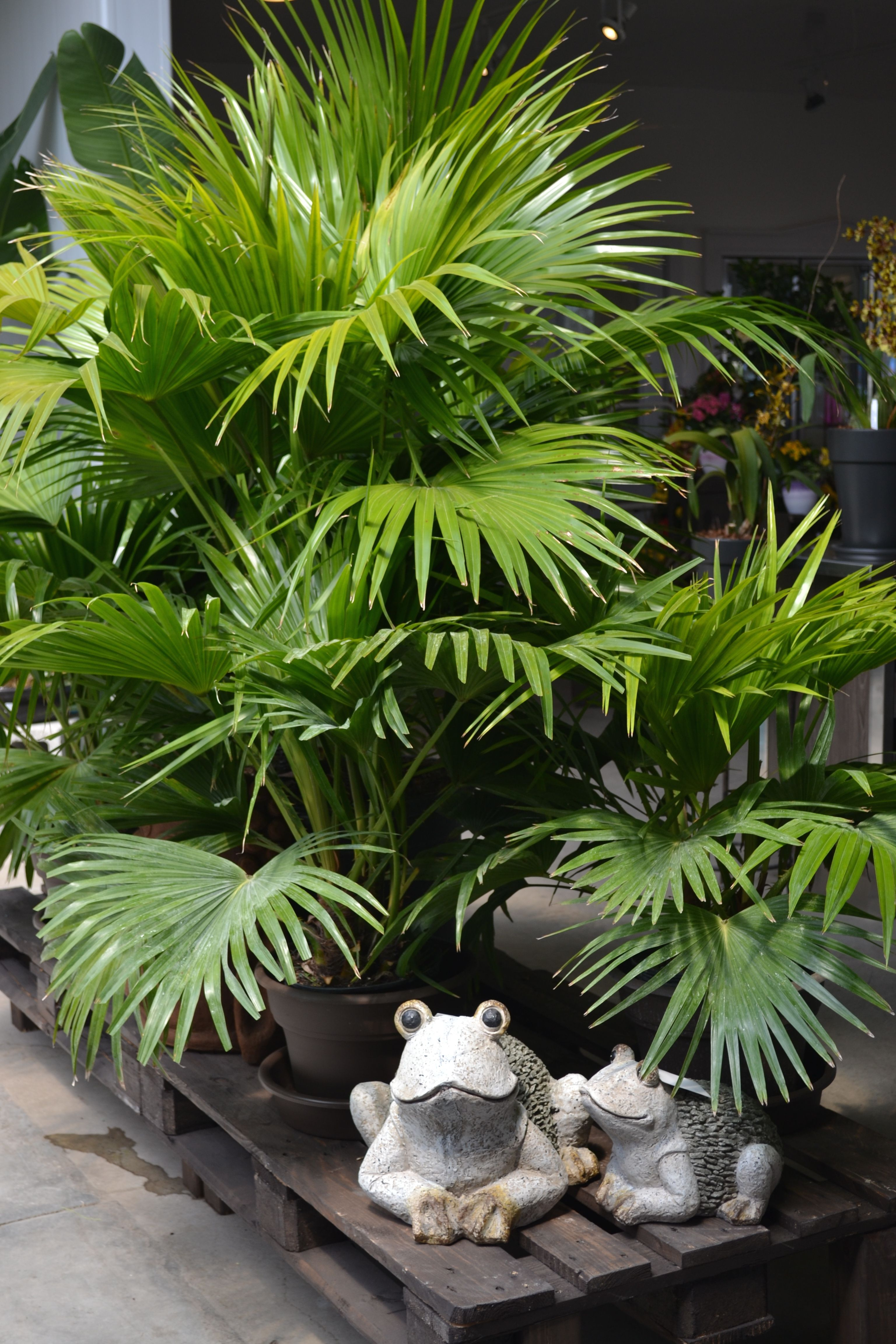 palmier decoration jardin pinterest palmiers centre de jardin et decoration jardin. Black Bedroom Furniture Sets. Home Design Ideas