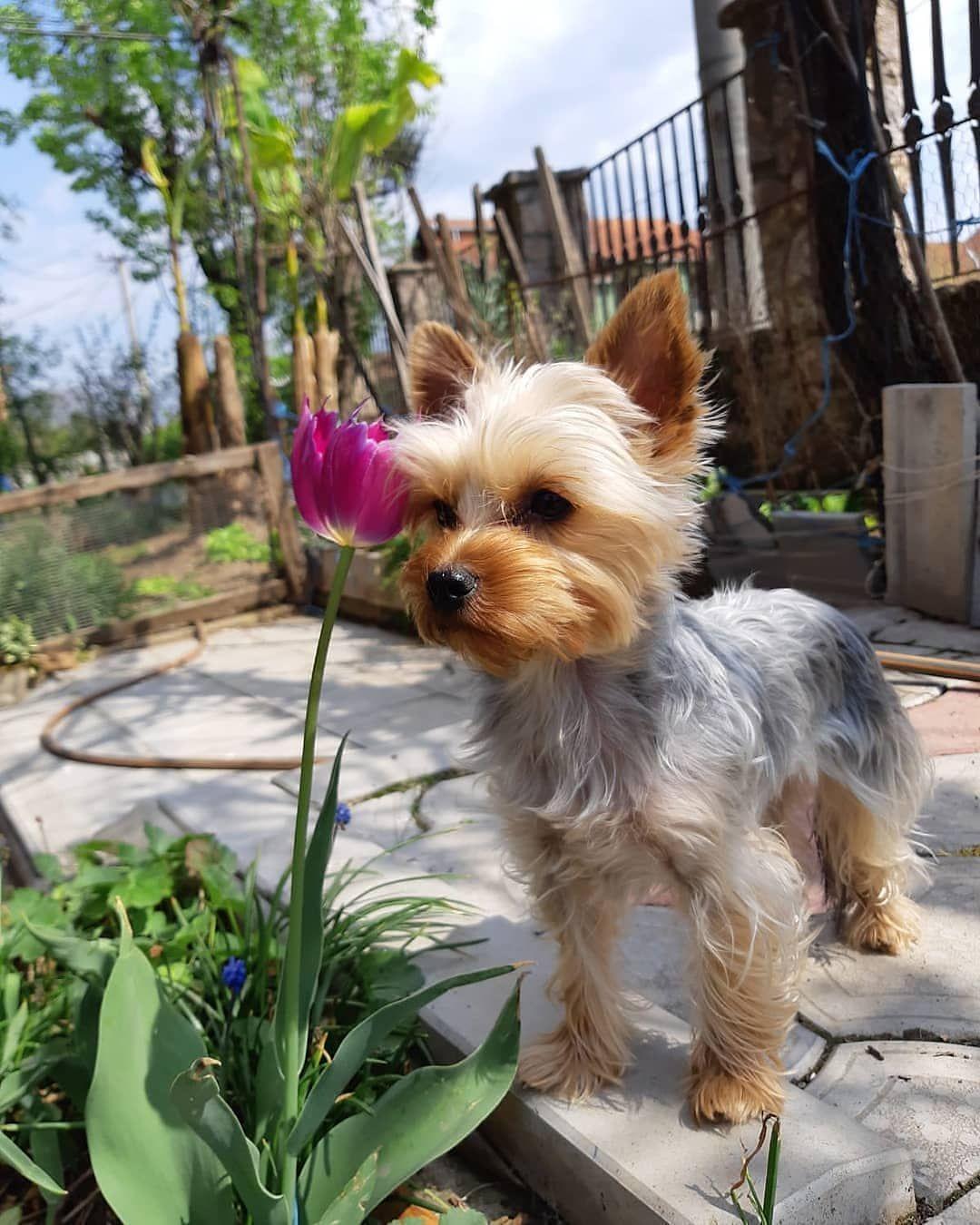 Yorkshire Chien D Appartement Dressage Chien Chiot Mignon Couleur Beagle Meilleur Chien Pets Animals Dogs
