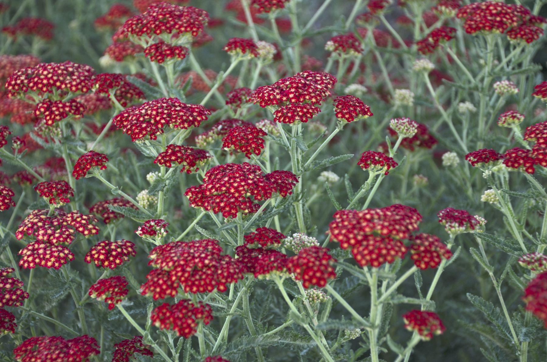 Achillea Yarrow Millefolium Cassis Perennial Seeds