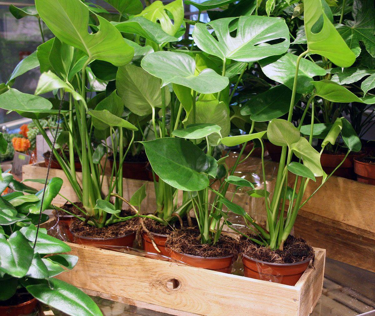 Raumteiler Hamburg zimmerpflanze fensterblatt schön als raumteiler zu pflanzen
