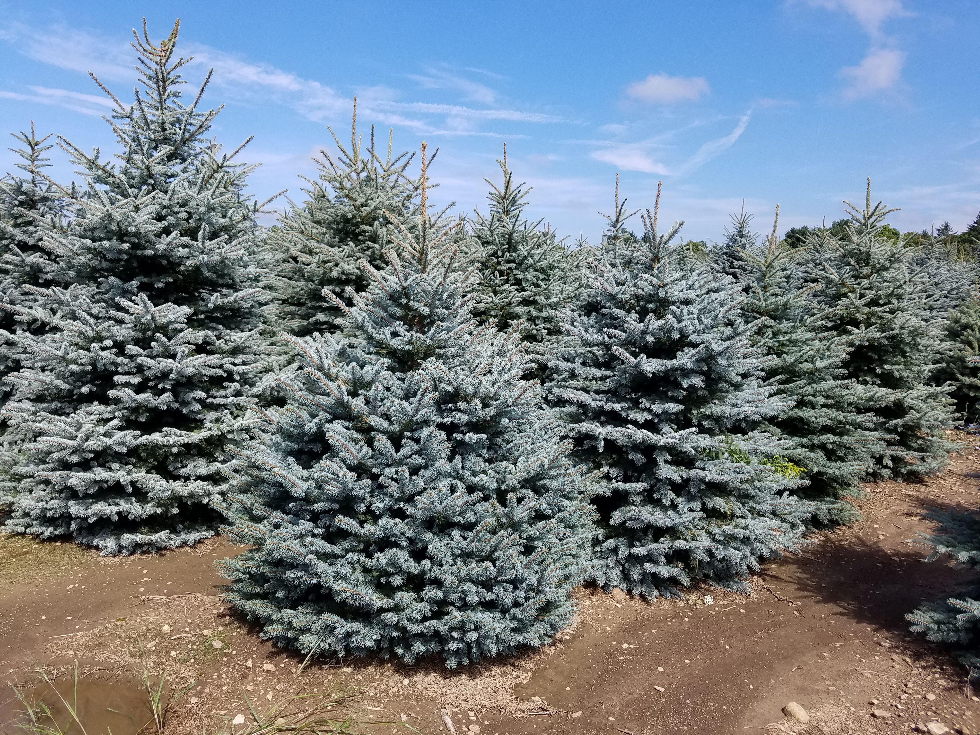 Big and Beautiful Colorado Blue Spruce Sept 16 Spruce