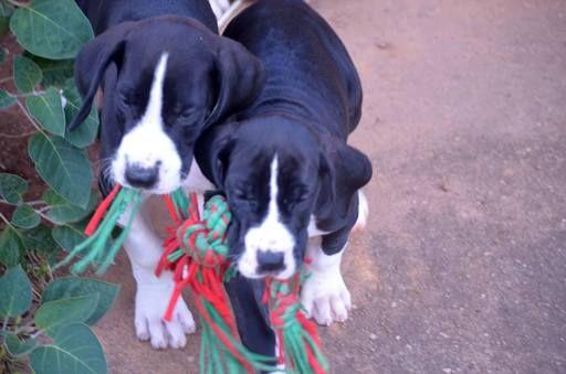 Litter Of 8 Great Dane Puppies For Sale In Martinsville Va Adn 20809 On Puppyfinder Com Gender Male Age 4 Mon Puppies For Sale Great Dane Puppy Great Dane