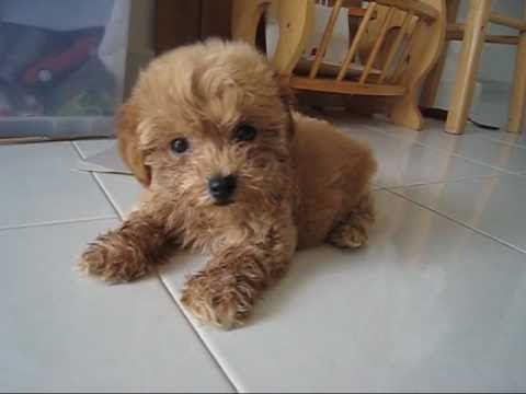 Beary Poodle Tiny Toy Male Off White Color Youtube