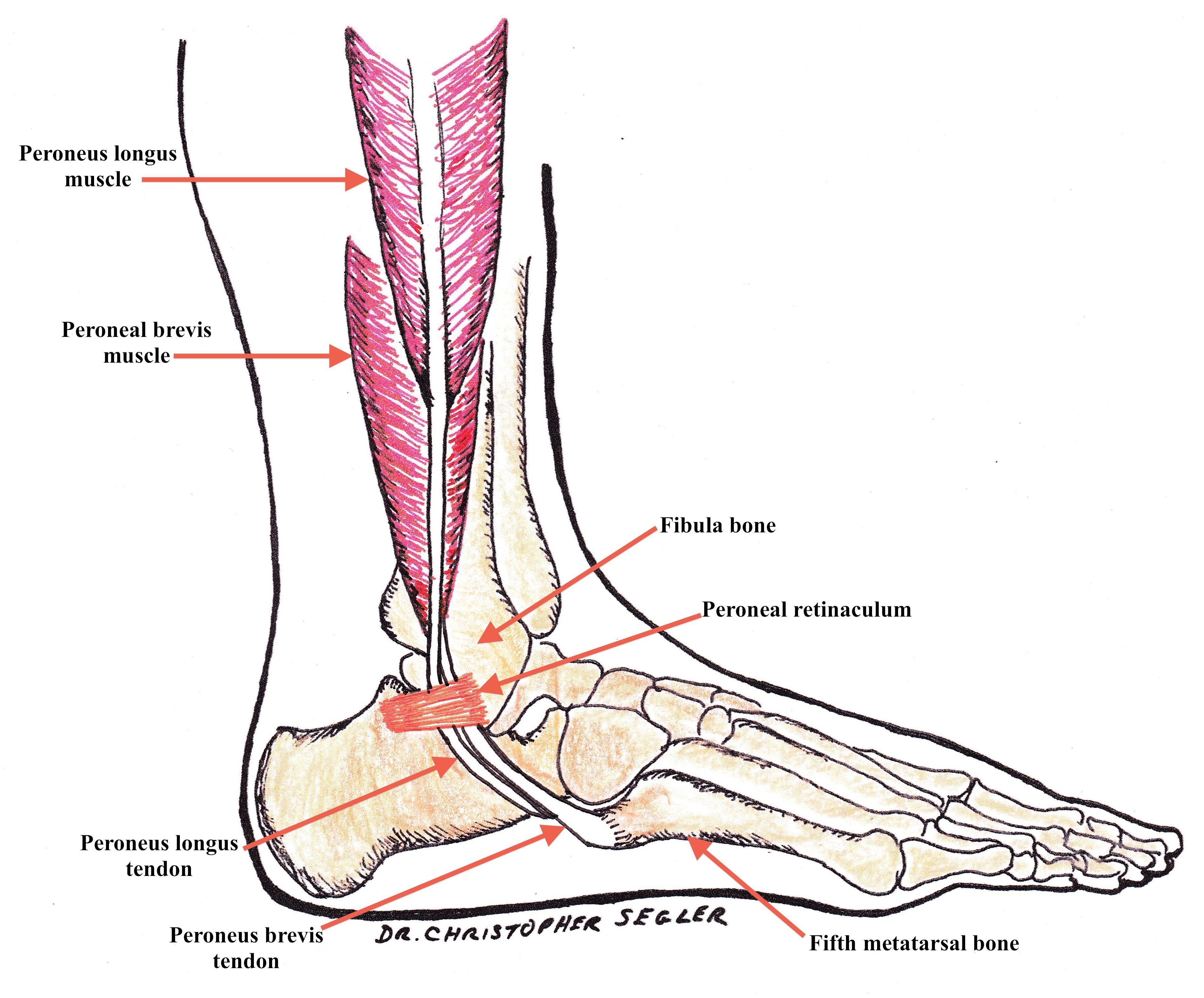 Hermosa Tendón Fibular Largo Viñeta - Imágenes de Anatomía Humana ...