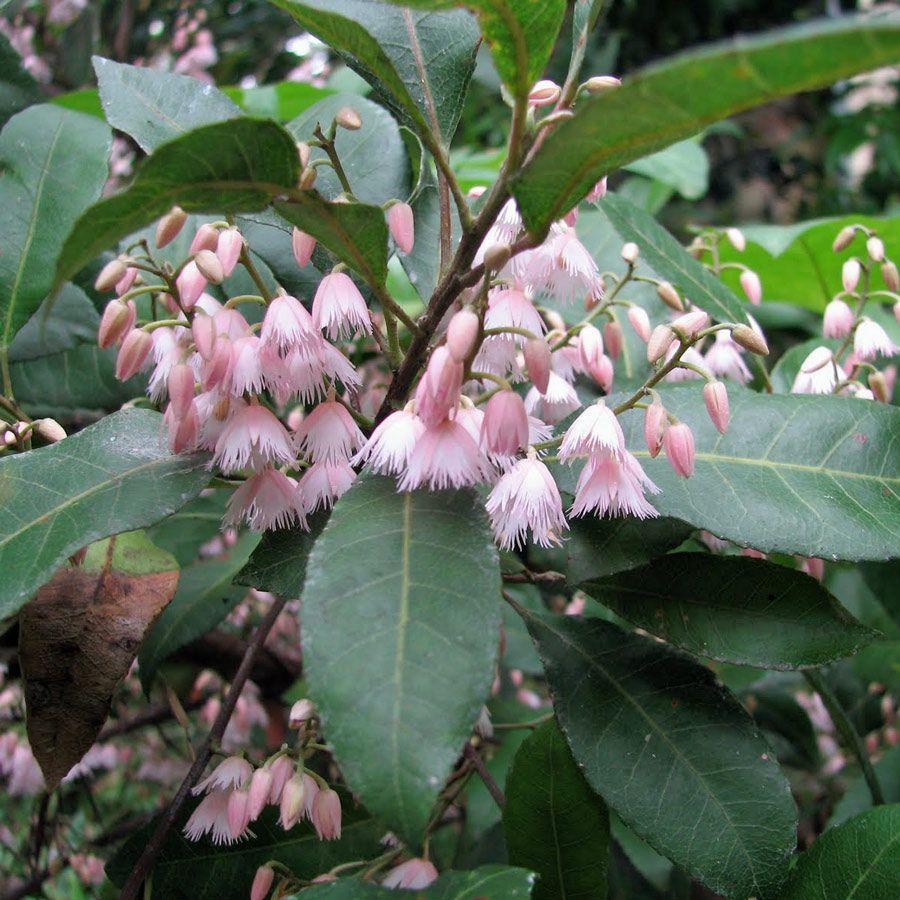 elaeocarpus reticulatus - elaeocarpaceae