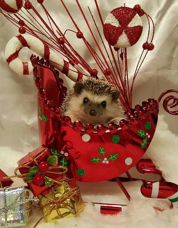 Pin By Personal On Hedgehogs Admirable Photos In 2020 Cute Hedgehog Christmas Contests Hedgehog Christmas