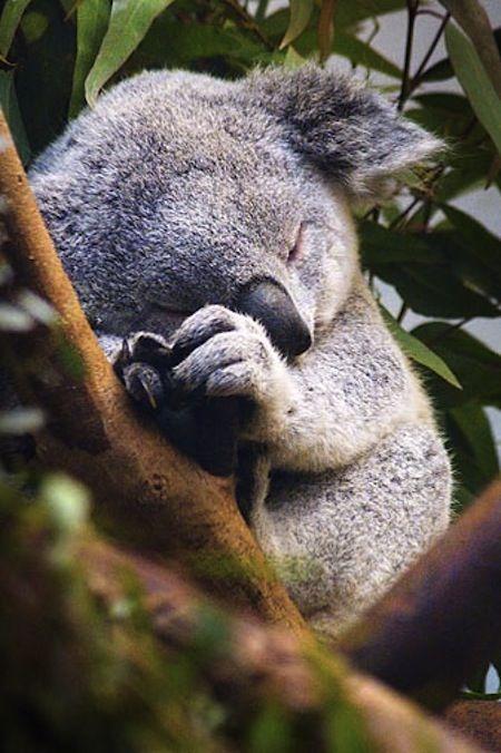 Sleeping koala.