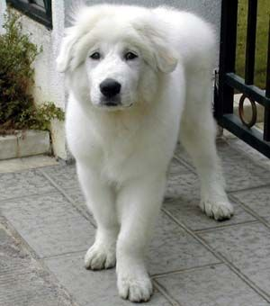 Great Pyrenees The Dog That Looks Like A Polar Bear I Will