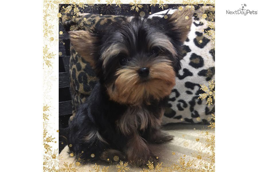 Yorkshire Terrier Yorkie Puppy For Sale Near Houston Texas Dfbaed6f 3061 Yorkshire Terrier Yorkie Puppy For Sale Yorkie