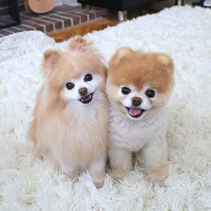 Best 25 Boo And Buddy Ideas On Pinterest Boo The Cutest