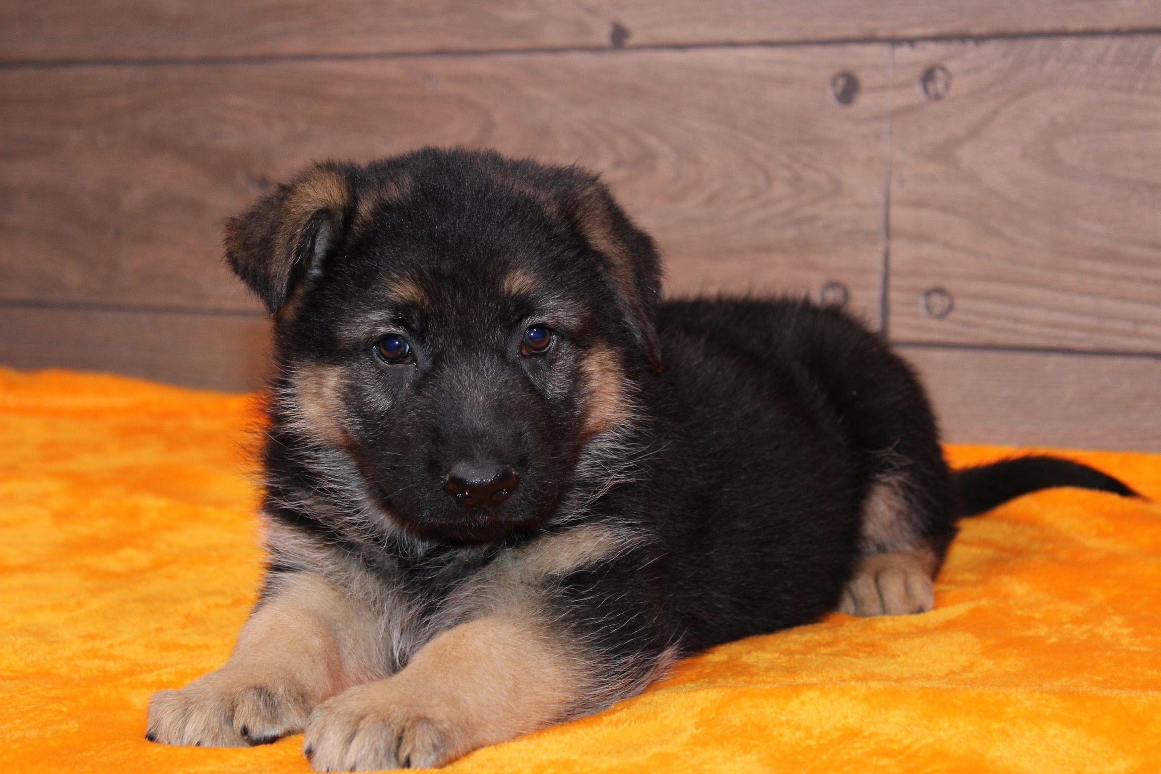 Jasper a male AKC German Shepherd puppy for sale in